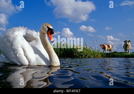 The Netherlands. 's-Graveland. Mute swan (Cygnus olor). Background: cows. - Stock Photo