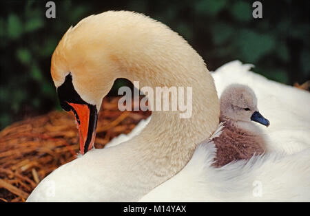 The Netherlands. 's-Graveland. Mute swan and young (Cygnus olor).  Young sitting in back. - Stock Photo