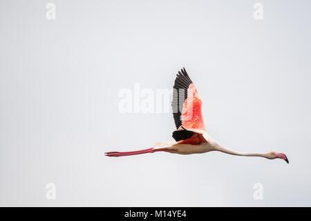 greater flamingo (Phoenicopterus roseus) flying, Ebro Delta, Tarragona, Catalonia, Spain - Stock Photo