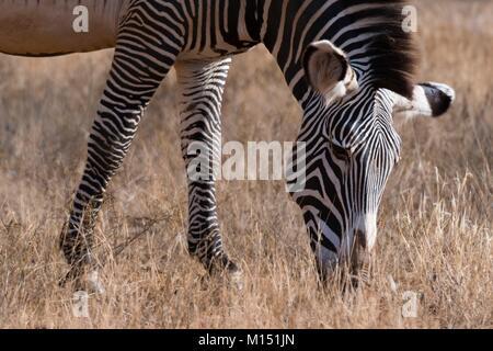 Grevy's zebra (Equus grevyi), Kalama Conservancy, Samburu, Kenya - Stock Photo
