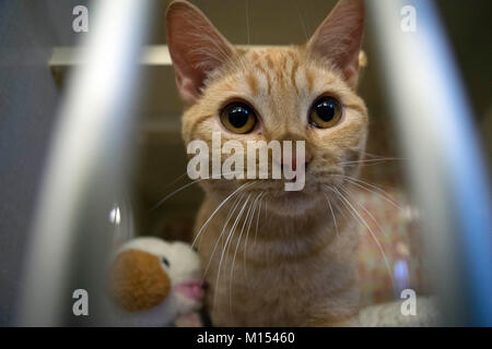 A kitten waits for adoption at the local animal shelter. - Stock Photo
