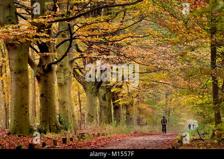 The Netherlands, 's-Graveland, woman cycling in beech lane. Autumn. - Stock Photo