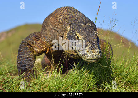 Portrait of the Komodo dragon ( Varanus komodoensis ) is the biggest living lizard in the world.  On island Rinca. - Stock Photo