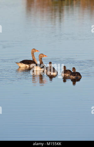 The Netherlands, Sluis, National Park called Zouweboezem. Greylag goose (Anser anser). Male, female and young. - Stock Photo