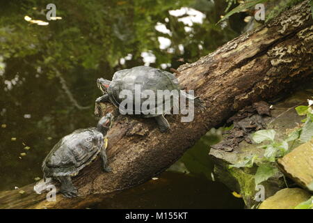 Red eared slider turtle on a tree - Stock Photo