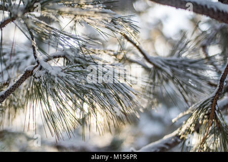 Fresh fallen snow on closeup details of pine tree with soft focus bright background - Stock Photo