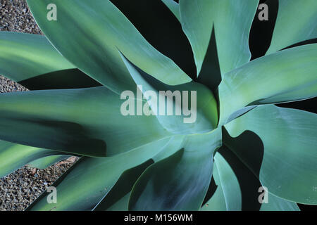 Close-up of a large, impressive blue-green agave (Agave attenuata) with a sharply pointed central leaf, side leaves - Stock Photo