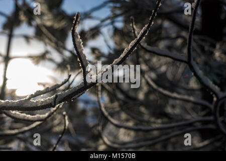 bare tree branch detail on pine tree coated with fresh snow outlined against blue sky and morning sun for a soft - Stock Photo