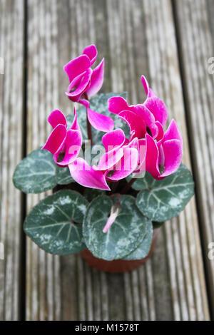 Pink cyclamen flowering plants - Stock Photo