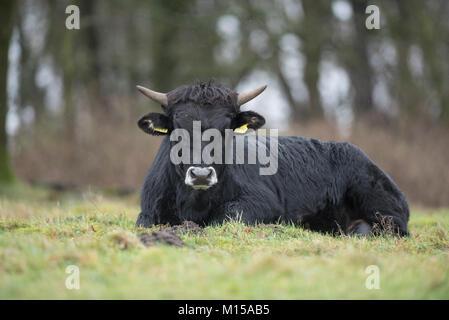 Aurox. Bos taurus primigenius. - Stock Photo