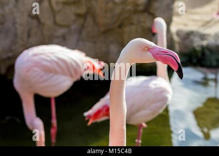 Detail of beautiful flamingo phoenicopterus bird head, pink color, portrait - Stock Photo