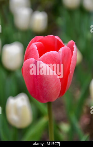 Isolated red tulip with blurred white tulips in background - Stock Photo