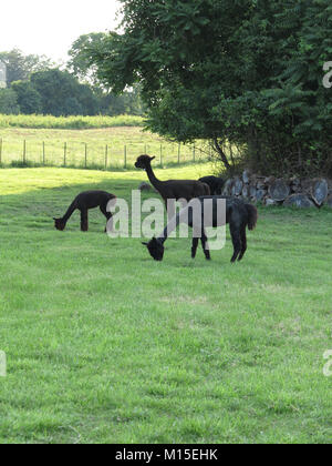 Three Black Alpacas Eating Grass on a Green Field - Stock Photo