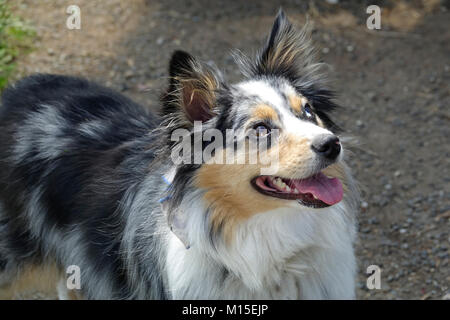 Happy Australian Shepherd Outside - Stock Photo