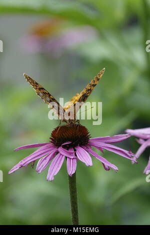 Yellow Butterfly Sitting on Echinacea Plant - Stock Photo