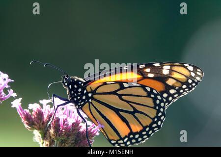 Monarch Butterfly in Purple Flower Garden - Stock Photo