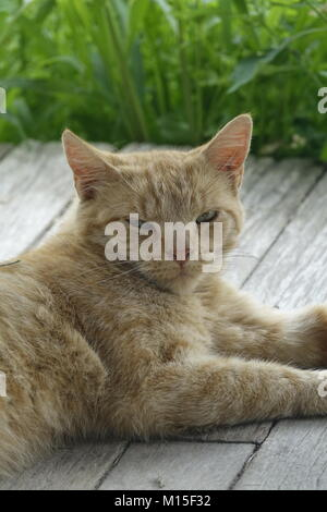 Close Up of an Orange Tabby Cat with Green Eyes Relaxing Outside on the Wooden Deck - Stock Photo