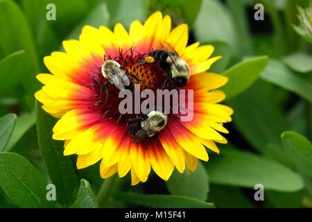 Yellow and Orange Gaillardia with Bumble Bees in Garden - Stock Photo