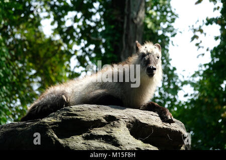 Japanese Serow Resting on a Rock on a Sunny Day - Stock Photo