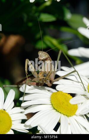 Mantis Religiosa, Praying Mantis, Feeding, Eating a Bee - Stock Photo