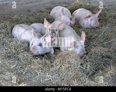 Happy Pink Pigs in a Pigpen - Stock Photo
