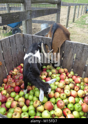 Pigmy Goats Searching for the Perfect Apple - Stock Photo