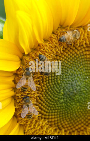 Singular Happy Yellow Sunflower in the Garden with Bees - Stock Photo