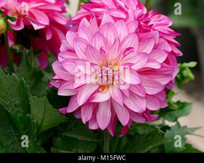 Pink Dahlia in a Spring Home Garden - Stock Photo