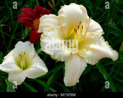 Colorful Lilies Close-Up in Botanical Home Garden - Stock Photo