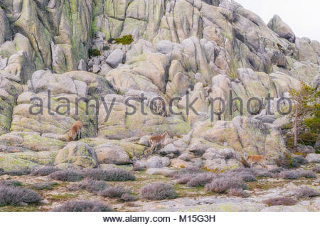 Capra pyrenaica. Spanish ibex. Group of goats over a granitic formation, in La Pedriza (Madrid - Spain). Guadarrama - Stock Photo