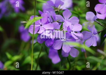 Phlox divaricata (Blue Moon) blossom close up. - Stock Photo