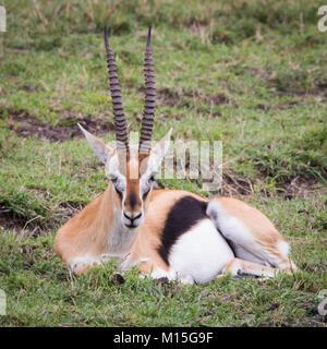 Thompson Gazelle rests on the Mara. - Stock Photo