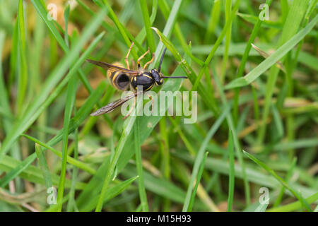 close up of a Wasp trying to climb a blade of grass - Stock Photo