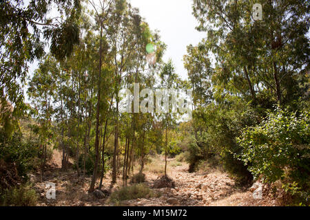 Pine tree forest. Photographed in Israel - Stock Photo
