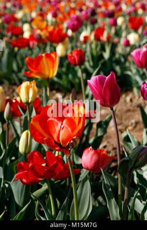 Tulip field in a sunny Spring morning - Stock Photo