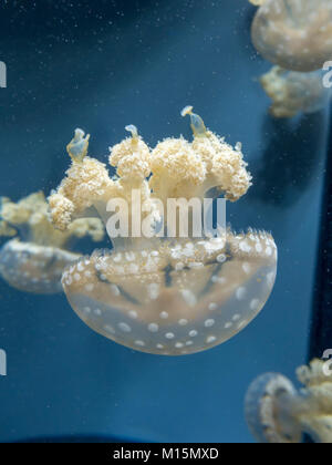 A  spotted lagoon jellyfish on display in the National Aquarium, Baltimore, Maryland, United States. - Stock Photo