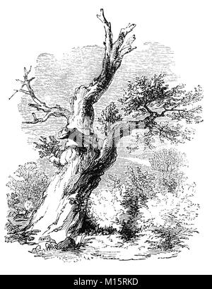 The Parliament Oak is thought to be c.1200 years old and probably the oldest tree in Sherwood Forest. It marked - Stock Photo