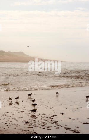 Small Calidris birds play in the water at Head of the Meadow Beach in Cape Cod - Stock Photo