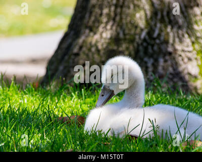 Baby Swan Sleeping in Green Grass Lawn - Stock Photo