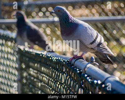 Two Pigeons on a Chain Link Fence - Stock Photo