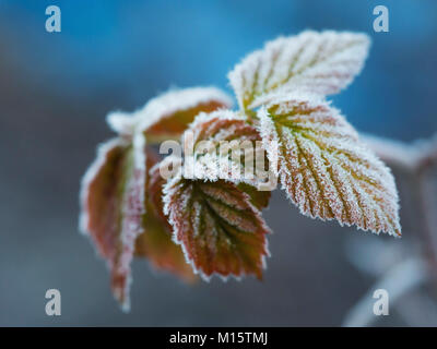 The late fall transmitted to an early winter when the first frost comes and the leaves getting white frost edges - Stock Photo