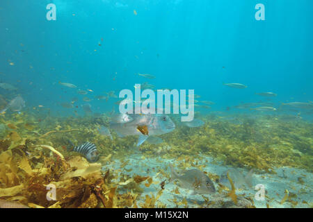 Small fish of various species around large australasian snapper Pagrus auratus above flat sandy bottom covered with - Stock Photo