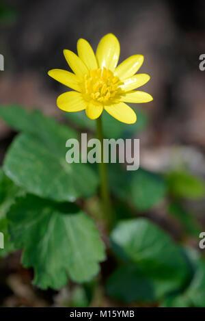 Scarlet herb (Ficaria verna),Blüte,North Rhine-Westphalia,Germany Stock Photo