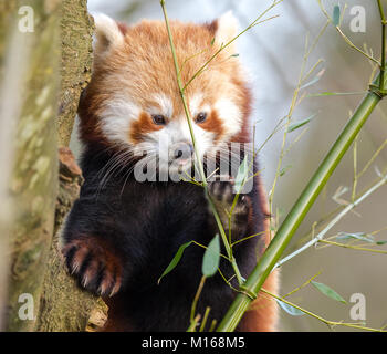 Close up of cute young red panda (Ailurus fulgens) isolated outdoors, perched high in tree at Cotswold Wildlife - Stock Photo