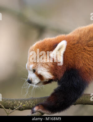 Close-up, side view of young red panda (Ailurus fulgens) climbing in trees. Detailed head & shoulder shot. Fluffy - Stock Photo