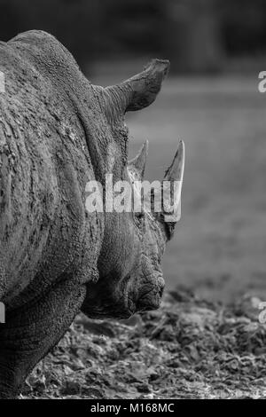 Black and white rear view close up of isolated white rhinoceros outdoors in mud, in captivity, Cotswold Wildlife - Stock Photo