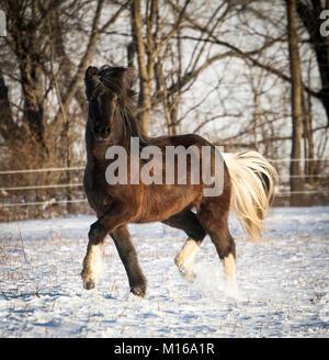 A black pinto Icelandic horse dances in the snow - Stock Photo