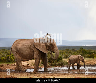 African elephants (Loxodonta africana), mother with young animal at the waterhole, Addo Elephant National Park, - Stock Photo