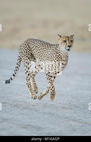Cheetah (Acinonyx jubatus) running, Nxai Pan National Park, Ngamiland District, Botswana - Stock Photo