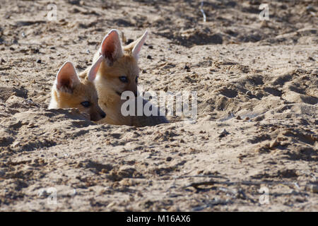 Cape foxes (Vulpes chama), two sitting cubs looking out from burrow entrance, Kgalagadi Transfrontier Park, Northern - Stock Photo